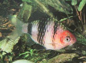 Black Ruby Barb -- barbus nigrofasciatus See more aquarium fish pictures.