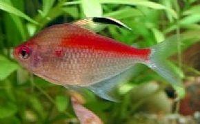 Bleeding Heart Tetra -- hyphessobrycon erythrostigma See more Aquarium Fish Image Gallery.