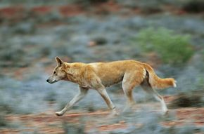 Did a dingo take the baby? The most recent ruling says yes.
