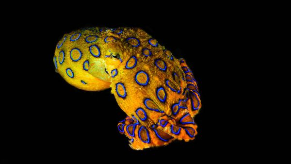 The Tiny Blue-ringed Octopus Is the Ocean's Deadliest
