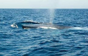 The blue whale is easily the largest animal on Earth. See more pictures of marine mammals.