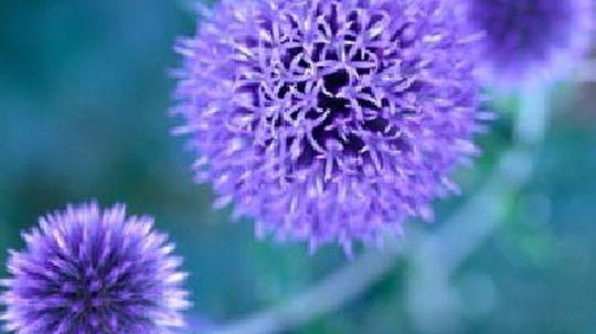 Blue to Purple Perennial Flowers