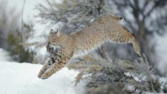What's the Difference Between a Bobcat and a Lynx?