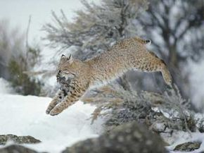 Bobcats demonstrate a fierce hunting style and can take huge leaps to catch prey. See big cat pictures.