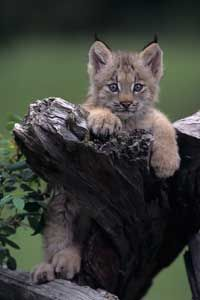This Canadian lynx might look sweet, but check out its claws.
