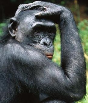 What makes this ape different from a monkey? See more pictures of mammals.