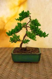 A bonsai tree See more gardening pictures.