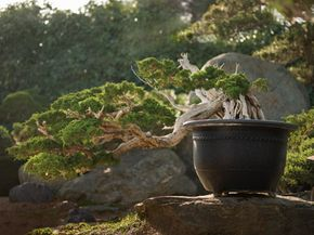 A larger bonsai tree kept outdoors.