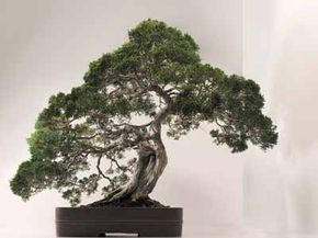 This bonsai tree has been carefully cultivated to resemble its counterparts in the wild, only on a smaller scale. See more pictures of trees.