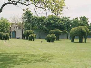Lifelike topiary elephants look almost as if they're actually trooping across this lawn in Thailand.
