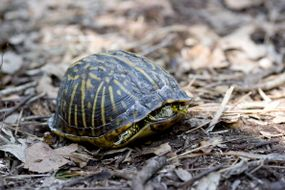 box turtle retracting into its shell