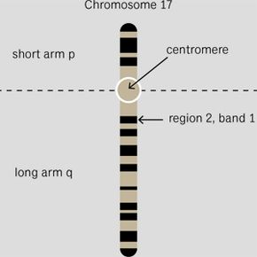 A snapshot of what chromosome 17 -- home of BRCA1 -- might look like.