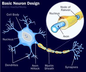 The basic design of a neuron