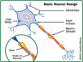 Multiple sclerosis attacks the myelin sheath that protects the nerve fiber.