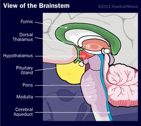 A peek at the lower brain