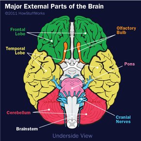 Here we're looking at the underside of the brain, showing the brain stem and cranial nerves.