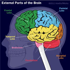 External parts of the human brain
