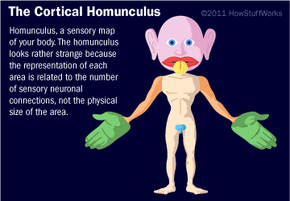 Sure, this homunculus looks rather strange, but that's because the representation of each area is related to the number of sensory neuronal connections, not its physical size.