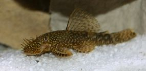 Bristslenose Catfish -- Ancistrus temmincki