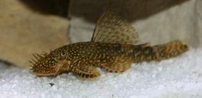 Bristlenose Catfish -- ancistrus temmincki See more aquarium fish pictures.