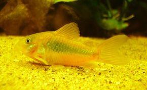 Bronze Catfish -- corydoras aeneus See more aquarium fish pictures.