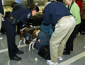 A member of the CBP Beagle Brigade investigates an arriving passenger's luggage looking for proibited agricultural products or meats.