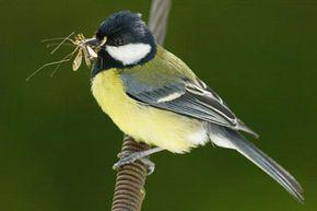 A great tit, a curious bird indeed.