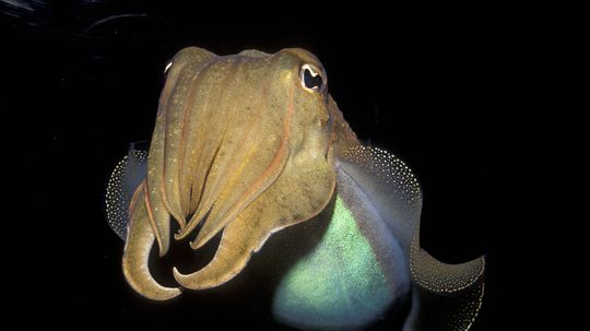 7 Reasons a Cuttlefish May Be Smarter Than You