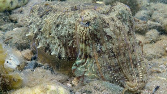 Cuttlefish, Masters of Camouflage, Have Newly Discovered Super Power
