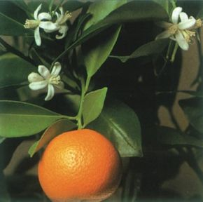 Calamondin orange has beautiful, fragrant flowers and small, but bitter, fruit. See more pictures of house plants.