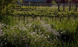 Pinot Gris grapes bloom in Sonoma County, Calif.
