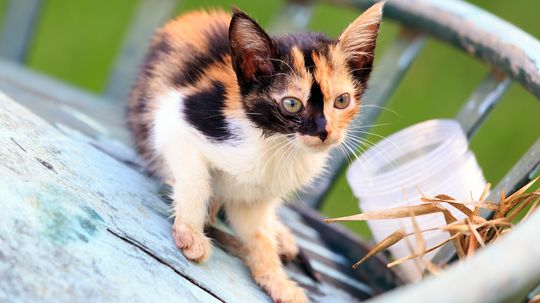 A Calico Cat Wears a Coat of Many Colors