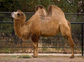 Camel humps are made up of fat, not water.