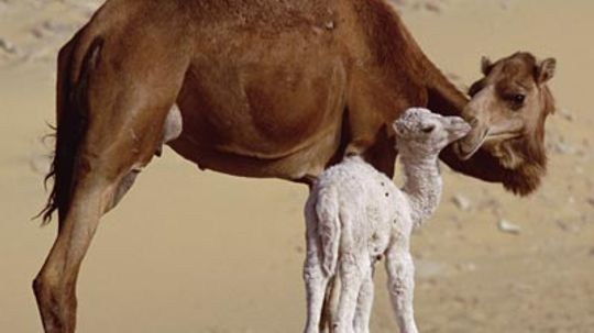 Do the humps on camels hold water?