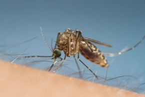 Mosquitoes are excellent at spreading all sorts of pathogens, but Ebola isn't one of them.