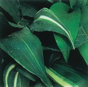 The cast-iron plant gets its name from its hardy, iron-clad constitution. See more pictures of house plants.