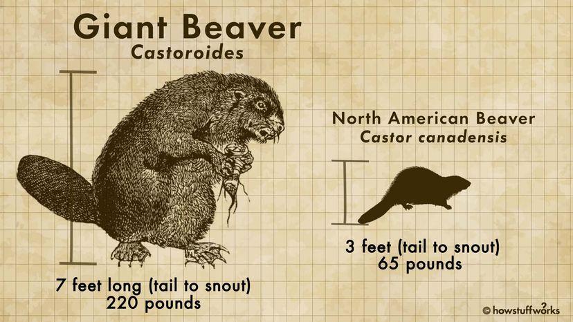 castoroides beaver