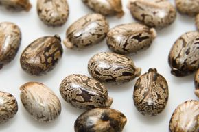 Castor beans are the source of castor oil, but also the highly toxic poison ricin.