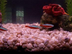 Cardinal Tetra -- paracheirodon axelrodi See more Aquarium Fish Image Gallery.