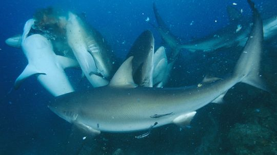 What causes a shark feeding frenzy?