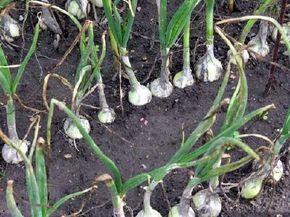 Like all vegetable plants,