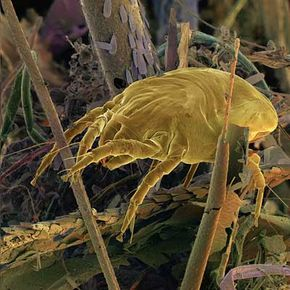 Dust mites burrow deep into a carpet's fibers, depositing large amounts of waste that provoke allergies.