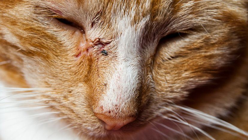 A young ginger cat with wounds on his face from a animal bite