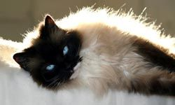 When lifted, ragdoll cats have a tendency to go limp.  No one knows why.
