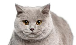 British shorthairs have often been the model for depictions of witch's cats.
