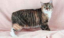 Manx cats are naturally born without a tail or with just a short stub.