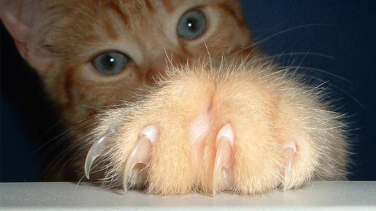 Cat Declawing: The Painful Truth
