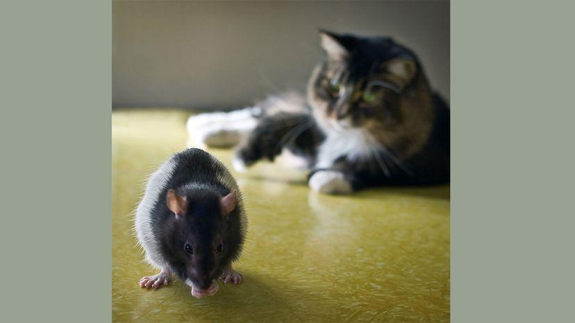 cat with rat