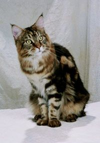 The better this Maine coon conforms to its breed standard, the better it would score in a cat show.