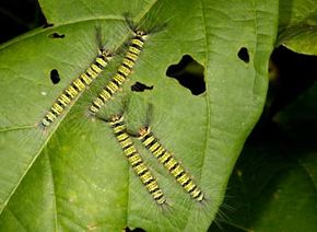 Four caterpillars munch on a leaf in Thailand. See more insect pictures.